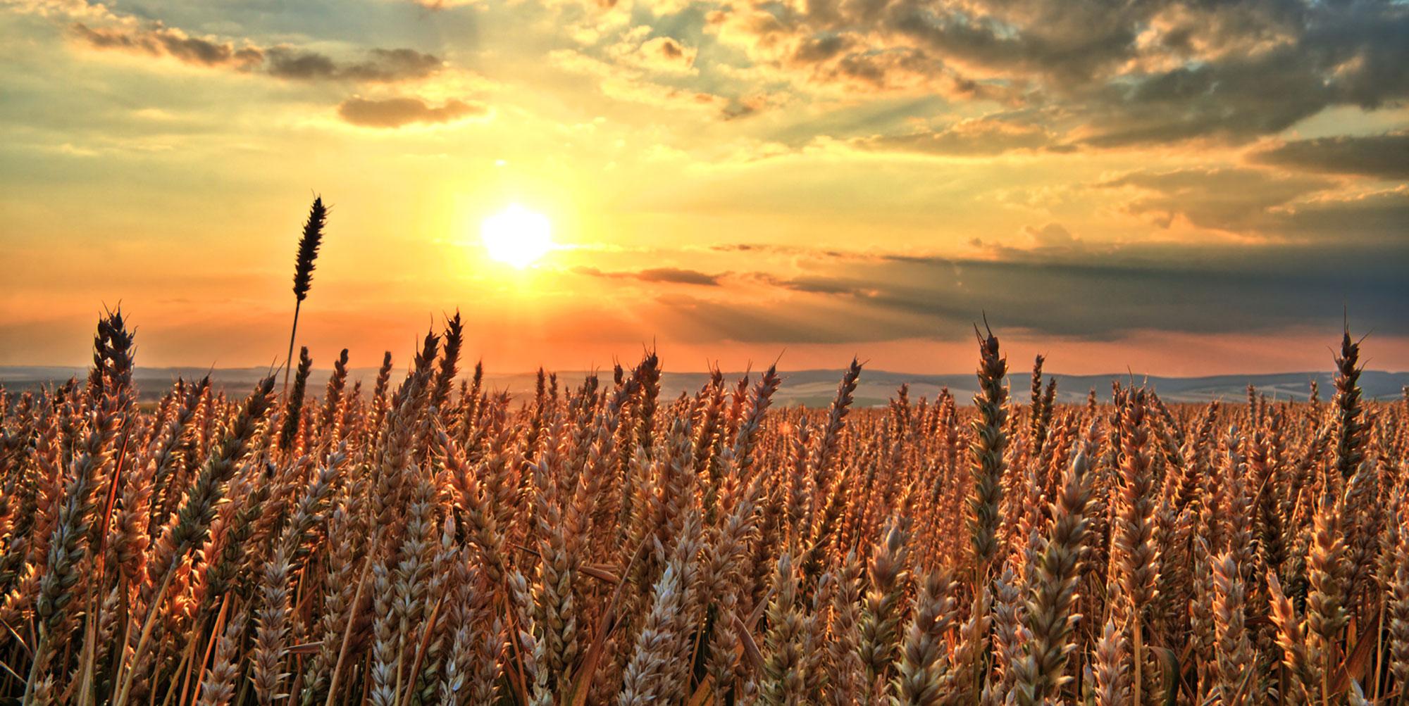 campo-grano